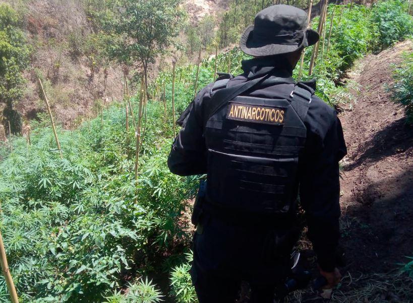 Las autoridades reportaron la erradicación de miles de matas de marihuana en Totonicapán, Chiquimula y Alta Verapaz. (Foto: DCA)