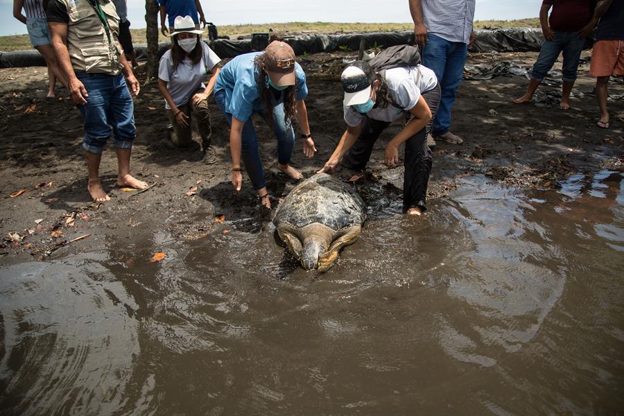 Momento en que la tortuga ingresa a las mismas aguas de las que fue rescatada herida del caparazón hace nueve meses. (Foto: EFE)