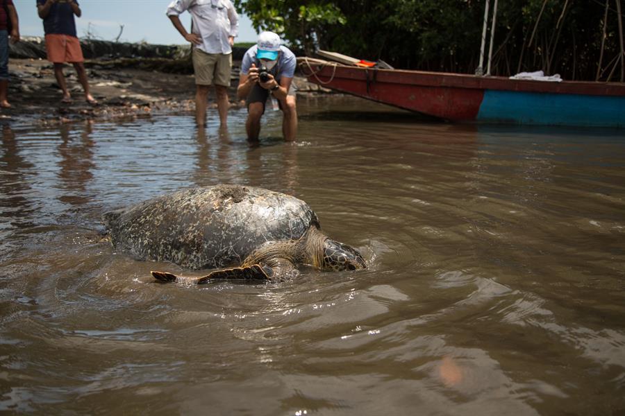 Luego de que la soltaran sus cuidadores se dio una vuelta, se sumergió y se perdió en el agua. (Foto: EFE)