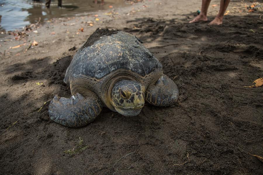 La tortuga verde de 200 libras, fue liberada en una playa de Sipacate, Escuintla, luego de recuperarse en el Zoológico La Aurora. (Foto: EFE)