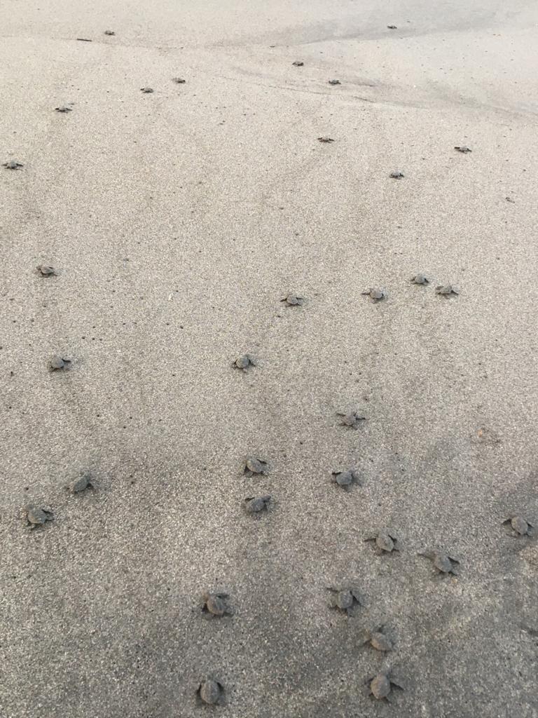 Unas 4 mil tortugas parlama fueron liberadas por los pobladores. (Foto: Cristian Soto)