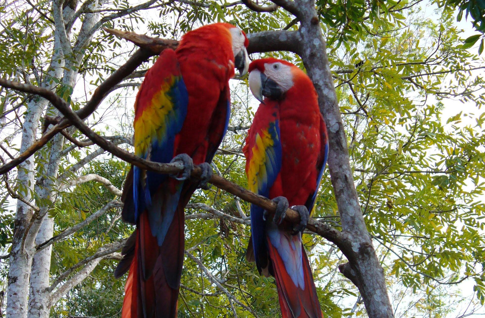 Guacamayas rojas son liberadas en la reserva de la biósfera Maya