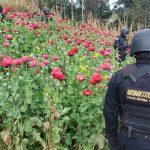 Erradican amapola valorada en más de 266 millones de quetzales