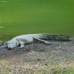El cocodrilo conocido como Lencho o Juancho, que habitaba en el Parque Nacional Las Victorias, de Cobán, murió tras ser atropellado.