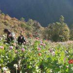 La Policía Nacional Civil -PNC- dio a conocer la erradicación de 27 mil 096 matas de marihuana en el departamento de Huehuetenango.