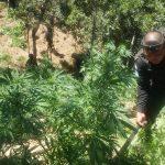 La Policía Nacional Civil -PNC- informó sobre la destrucción de varias plantaciones de marihuana valuadas en más de 95 millones de quetzales.