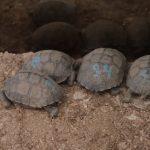 Autoridades del Aeropuerto Ecológico de las Islas Galápagos de Ecuador, hallaron 185 bebés de tortugas gigantes; diez de ellas muertas, en equipaje que tenía como destino a Guayaquil.