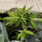 Nueva York se une a otros estados y legaliza la marihuana recreativa