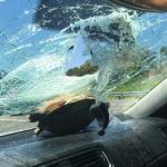 Una tortuga impactó contra el parabrisas de un carro en una autopista de Florida e hirió a una mujer de 71 años que viajaba como pasajera; la víctima se sorprendió de dónde salió el animal, que milagrosamente sobrevivió, según informaron medios locales.