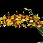 Flora guatemalteca: La orquídea Rossioglossum williamsianum