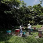 Los apicultores de Guatemala buscan mantener un negocio amigable con el medioambiente en la nación centroamericana pese a las amenazas existentes. Tales como la crisis climática o el reciente envenenamiento de un millón de abejas en una finca en la región central del país.