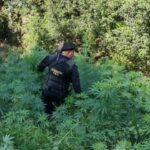 Autoridades erradicaron 68 mil 584 maras de marihuana en un operativo interinstitucional en el departamento de Totonicapán.